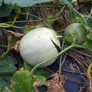 嬉しい収穫が続く_c0063348_9371640.jpg