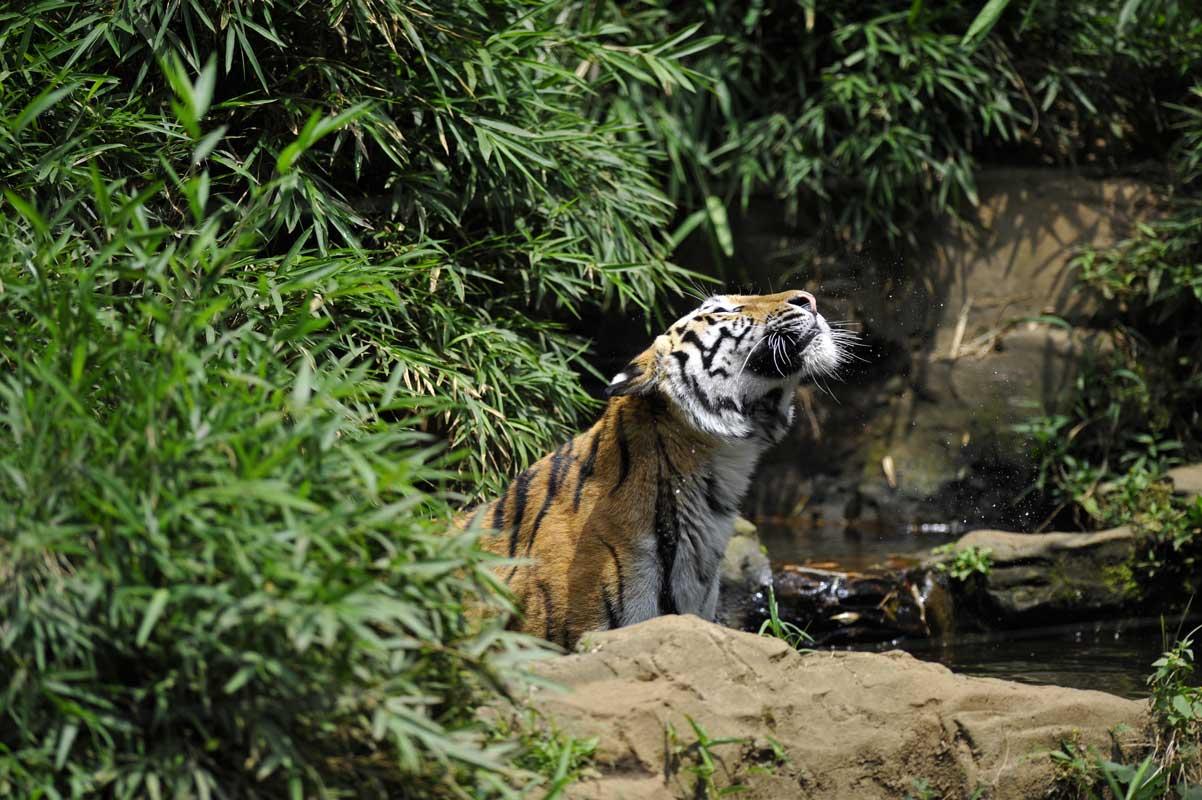 トラは水好きだがトラネコは?_b0023856_2158102.jpg