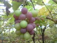 葡萄の品質向上対策。_f0018099_14324927.jpg