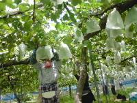 葡萄の品質向上対策。_f0018099_1433886.jpg