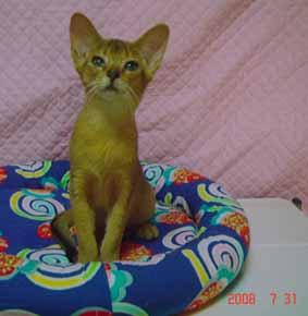 アビシニアン 子猫 ルデイー姉妹_e0033609_15113367.jpg