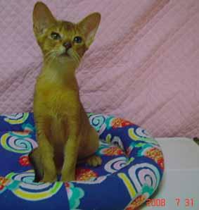 アビシニアン 子猫 ルデイー姉妹_e0033609_1512720.jpg