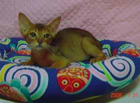 アビシニアン 子猫 ルデイー姉妹_e0033609_15144318.jpg