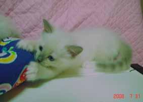ラグドール 子猫6月20日2008年生まれ男の子_e0033609_15211735.jpg