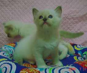 ラグドール 子猫6月20日2008年生まれ男の子_e0033609_1521329.jpg
