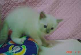 ラグドール 子猫6月20日2008年生まれ男の子_e0033609_1521515.jpg
