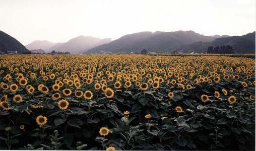 向日葵の季節ですね~_f0166234_2324531.jpg