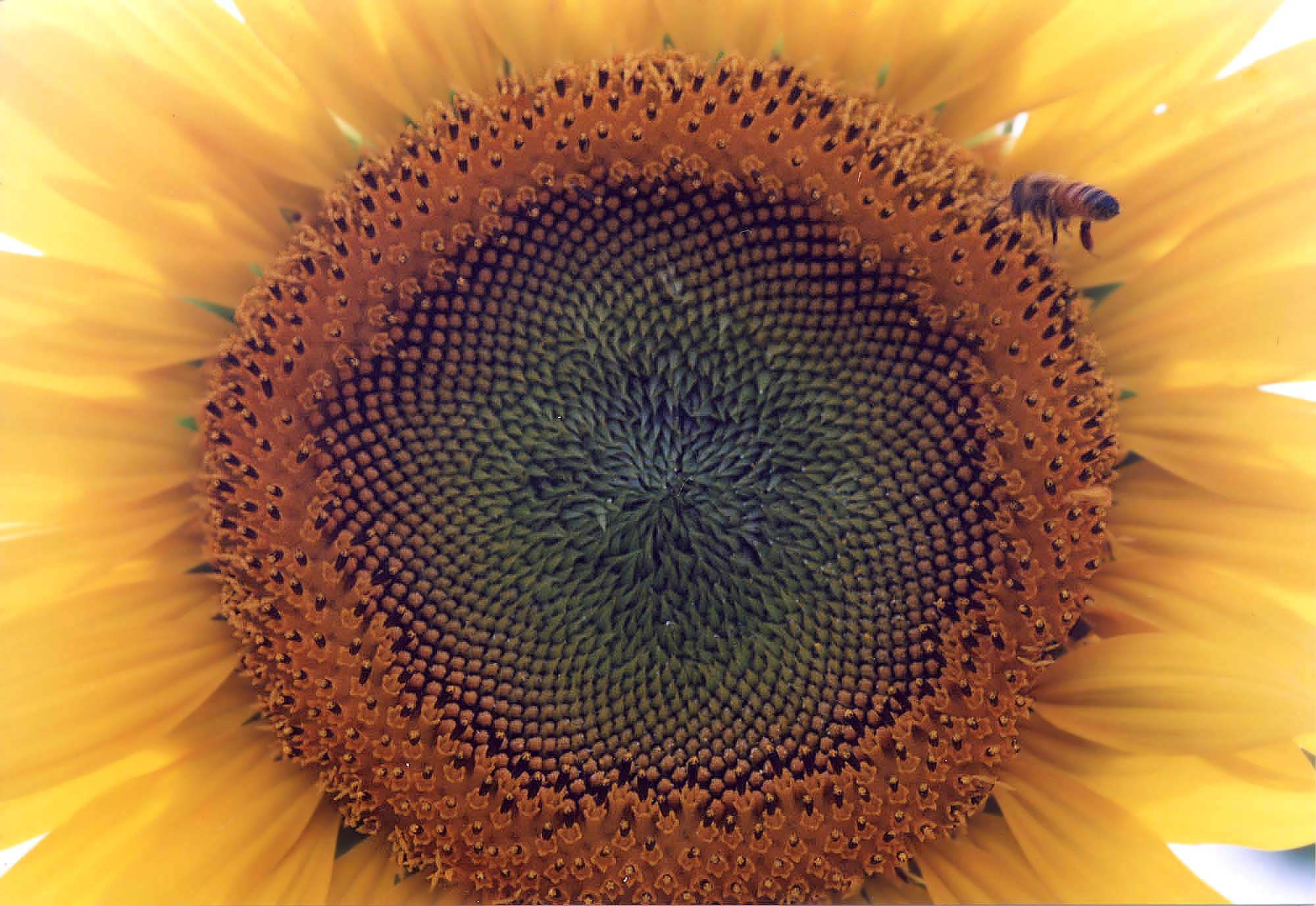 向日葵の季節ですね~_f0166234_23252770.jpg