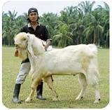 kambing Etawa/Jamnapari_a0051297_11513183.jpg