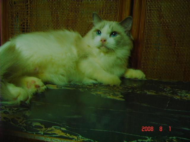 ラグドール 子猫6月20日2008年生まれ男の子_e0033609_1921444.jpg
