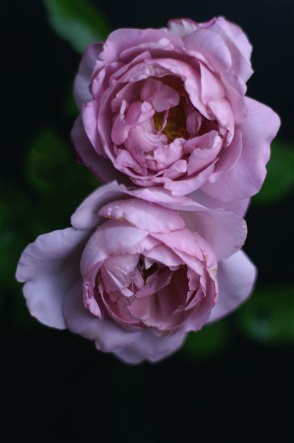 La Rose du Petit Prince。_e0044929_2135258.jpg