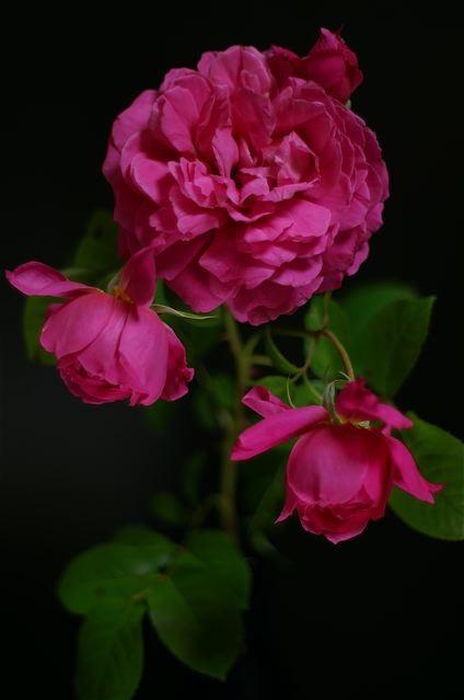 La Rose du Petit Prince。_e0044929_214224.jpg