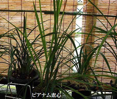 ◆台湾春蘭(?)ピアナム素心           No.332_d0103457_12119.jpg