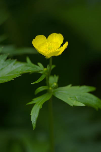 燕岳あたりの花(2)_d0123171_1183225.jpg