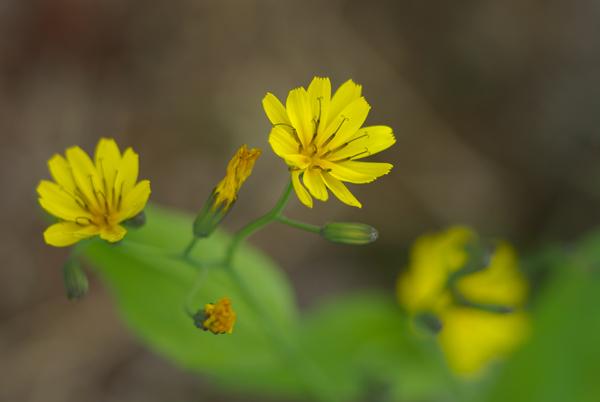 燕岳あたりの花(2)_d0123171_119287.jpg