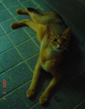 アビシニアン子猫誕生_e0033609_1222247.jpg
