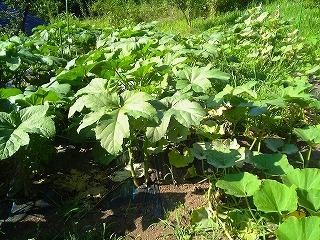 野菜、今昔_c0060919_15262532.jpg