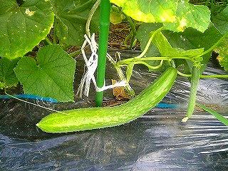 野菜、今昔_c0060919_15283214.jpg