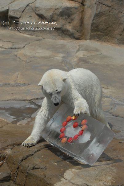 ホッキョクグマの氷プレゼント 王子 その2_b0024758_0302480.jpg