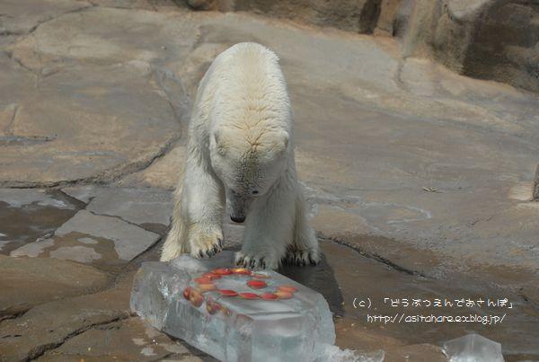 ホッキョクグマの氷プレゼント 王子 その2_b0024758_0345046.jpg