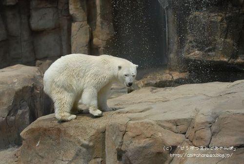 ホッキョクグマの氷プレゼント 王子 その2_b0024758_0351083.jpg