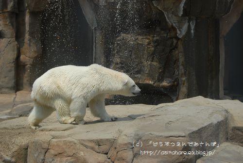 ホッキョクグマの氷プレゼント 王子 その2_b0024758_0355011.jpg