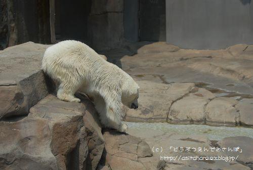 ホッキョクグマの氷プレゼント 王子 その2_b0024758_0364325.jpg