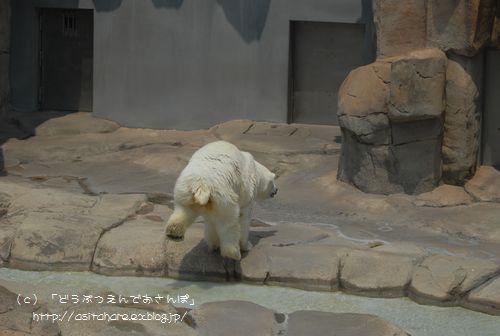 ホッキョクグマの氷プレゼント 王子 その2_b0024758_038403.jpg