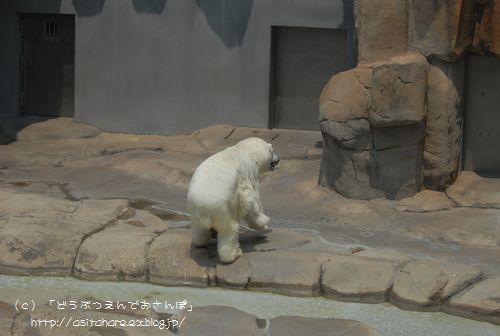 ホッキョクグマの氷プレゼント 王子 その2_b0024758_038521.jpg