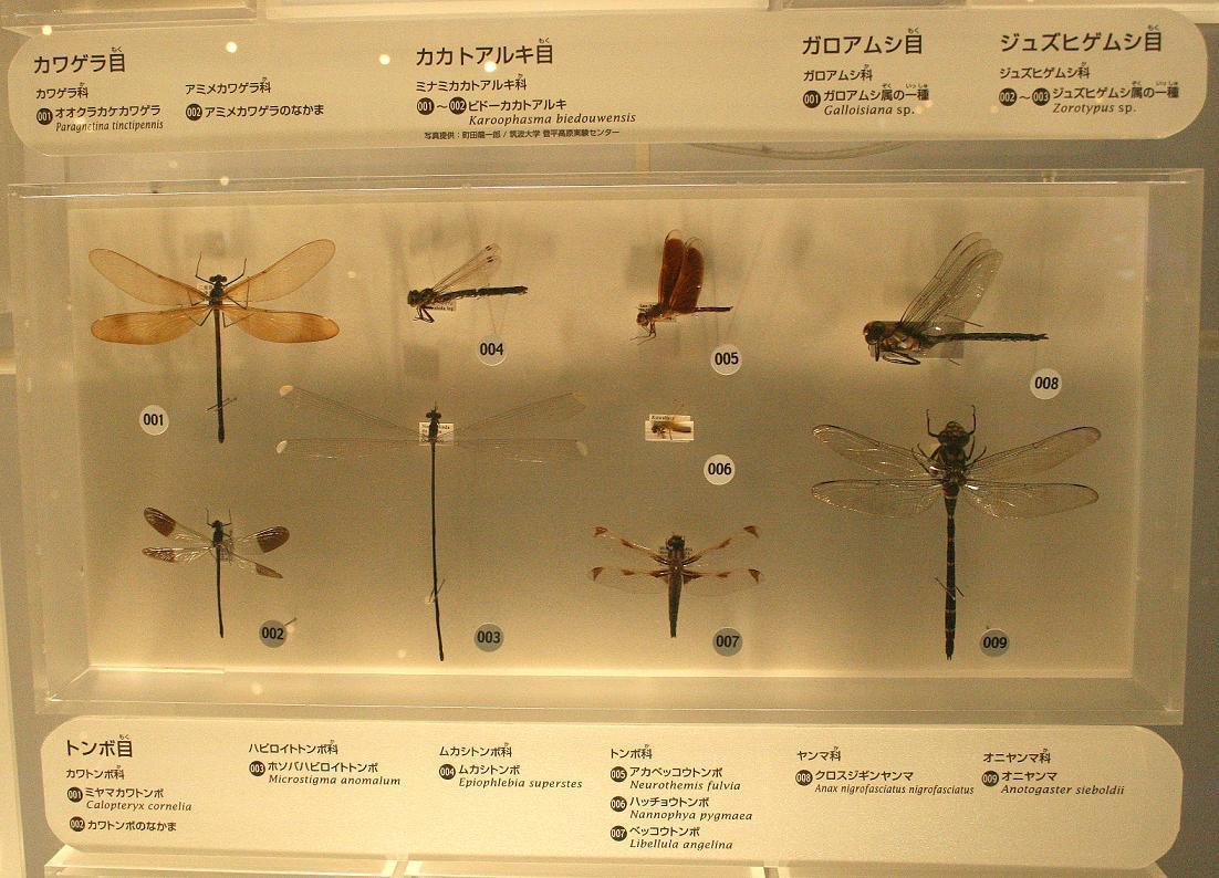 国立科学博物館    ~ハッチョウトンボの大きさ~_a0107574_23161257.jpg