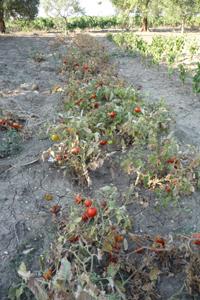 プーリアのトマトの強さ_f0106597_1554111.jpg