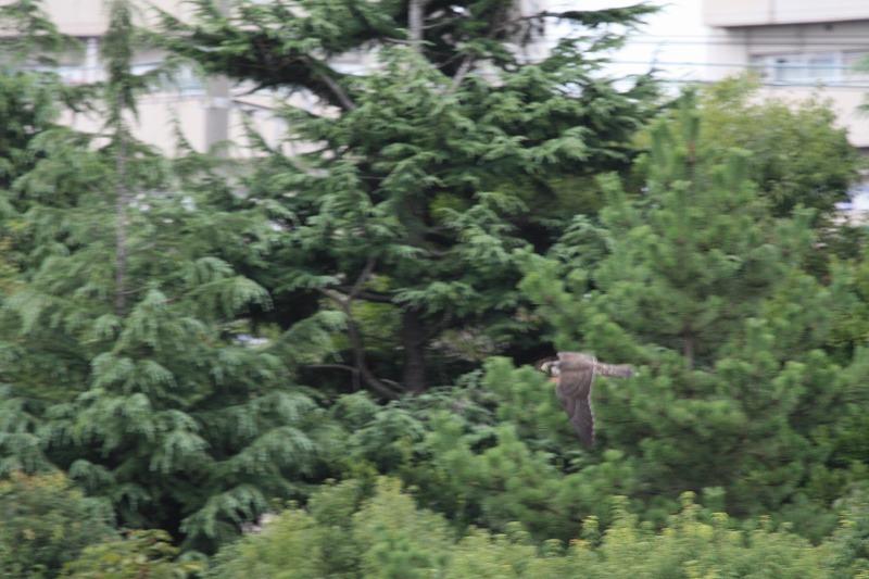 ★久しぶりにバンを確認。上の池のカイツブリの巣は・・・先週末の鳥類園(2008.8.9~10)  _e0046474_20293058.jpg