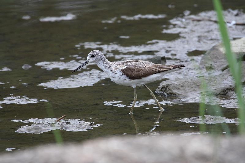 ★久しぶりにバンを確認。上の池のカイツブリの巣は・・・先週末の鳥類園(2008.8.9~10)  _e0046474_20315052.jpg