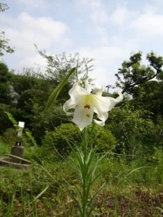 ユリが咲きました。_b0049307_18384593.jpg