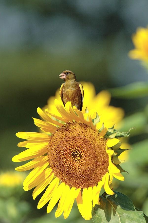 夏の定番です。(向日葵と野鳥の夏らしい写真)_f0105570_12482426.jpg