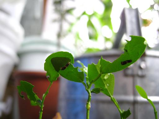 コブミカン, Kaffir Lime