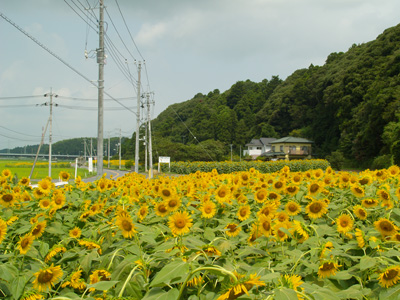 ひまわり in 横芝光町_f0047524_11344269.jpg