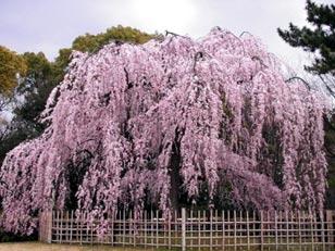 しだれ桜の、淡雪のような……_f0137324_11572899.jpg