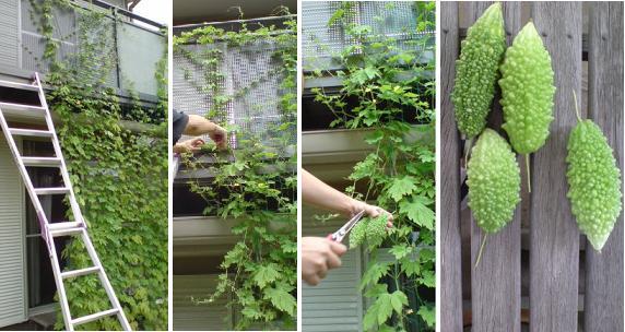 5月にはじめた、緑のカーテンがかなり成長 その7_e0097895_2111598.jpg