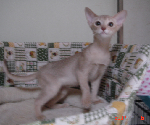 アビシニアン子猫ブルーとフォーンの女の子 生後5日_e0033609_14223130.jpg