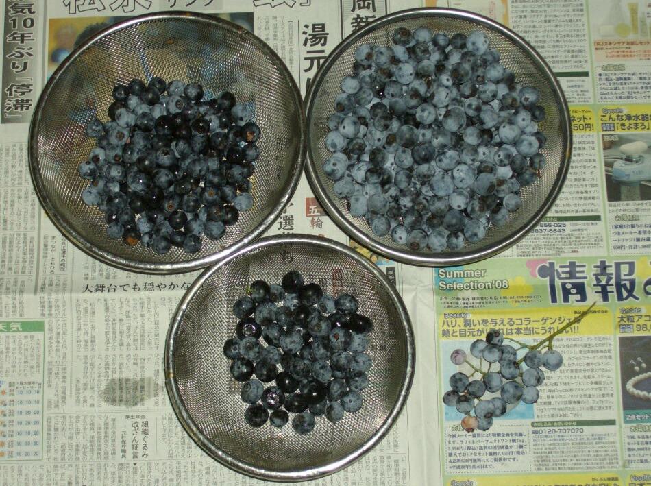 今日の収穫とBerry式取らぬブルーベリーの皮算用_f0018078_15524564.jpg