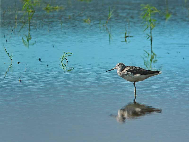 やっとの鳥見でアオアシシギ_e0016894_023828.jpg