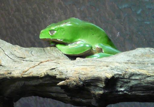 ケルン動物園(水族館)のカエル_e0054299_9481558.jpg
