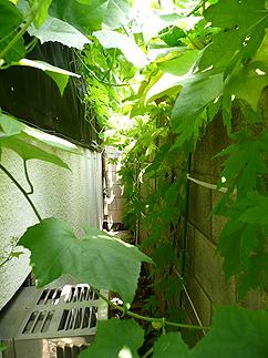 食べられる日除け(緑のカーテン)_b0014003_13583082.jpg