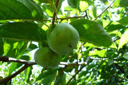 22日今日の事務所の庭の果物_e0054299_1336212.jpg