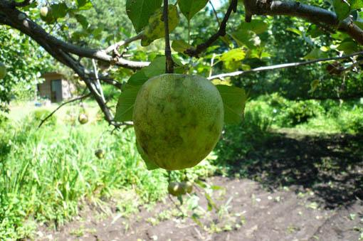 22日今日の事務所の庭の果物_e0054299_13363753.jpg