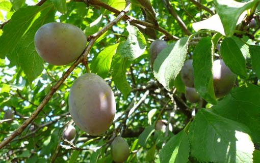 22日今日の事務所の庭の果物_e0054299_13365896.jpg