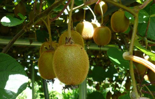 22日今日の事務所の庭の果物_e0054299_13371072.jpg