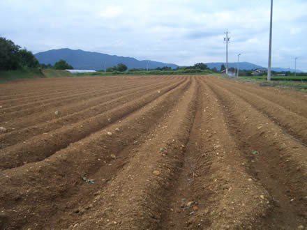 中津川ちこり畑種まきの季節_d0063218_15355427.jpg