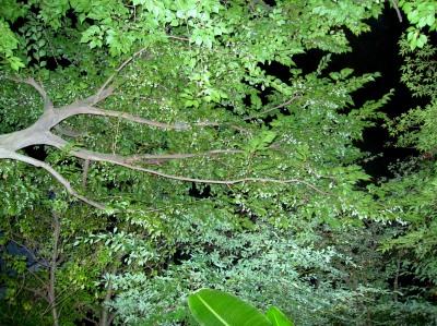 """ちいさな庭の小さな自然""""鈴なりのエゴの実""""_e0010418_15434831.jpg"""